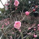 香川県・栗林公園の梅
