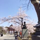 目黒不動の桜