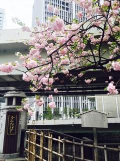 かんだばしと桜